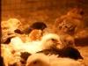 Kycklingar 1