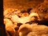 Kycklingar 3