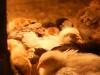 Kycklingar 4