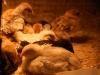 Kycklingar 5