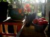 Tomaterna fint placerade i en (hund)skål på den inredda hippialtanen
