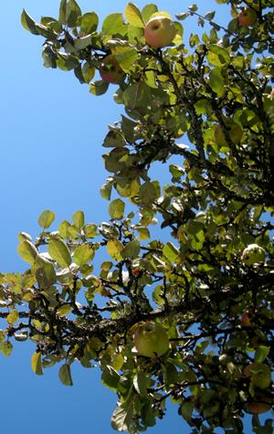 Äppelträd i Slottsparken
