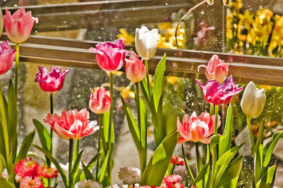 Tråkiga och uttjatade tulpaner som mest sätts på ålderdomshemmens parker, är ju trots allt förbaskat vackra