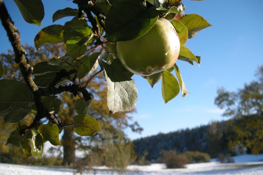 De finns lite hårdare sorter som passar till att göra torkade äppelringar, som tex hårda gröna. De mjuka röda är mer lämpade för mos. Men, jag gör mos av allt! Förutom de som åker ner i en pajform