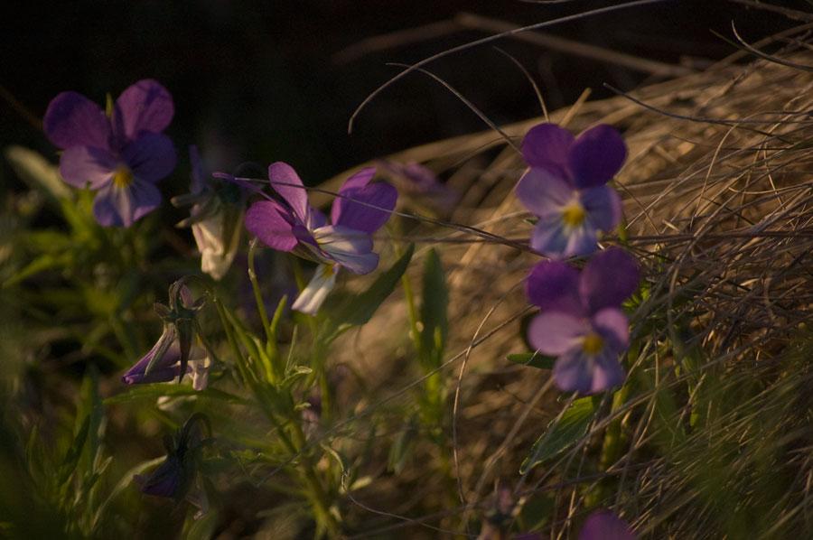 Mera lila blommor
