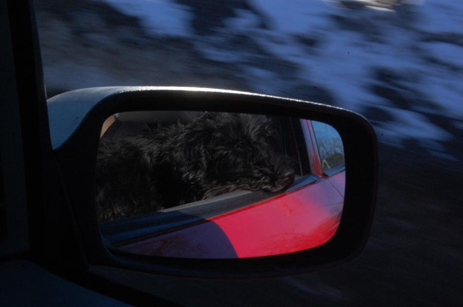 Schnautzer åker bil