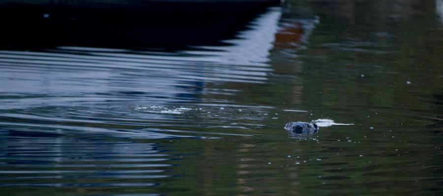 Bävern simmade förbi, men vände om för attack.