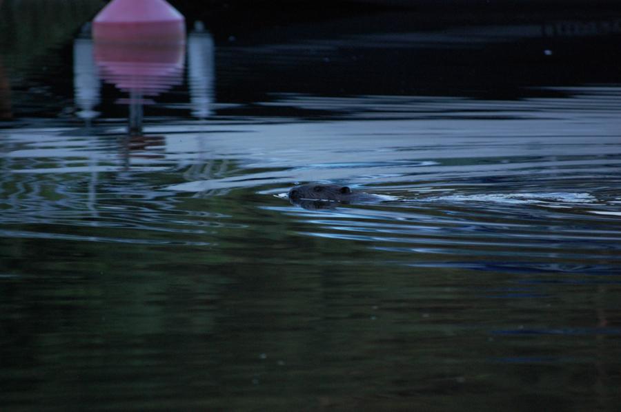 Bävern simmade tillbaka