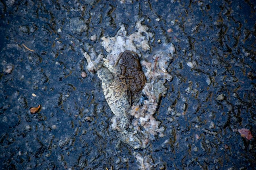 Dagens bild 2. Döda grodan. 8e oktober 2011