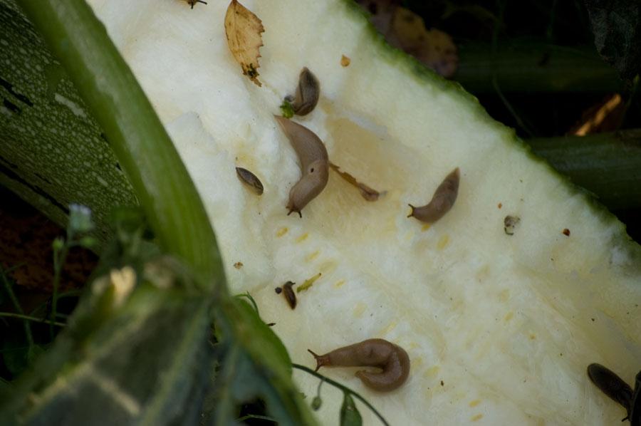 Här har snigelbebisarna kalas med ekologiskt odlad squash i min trädgård
